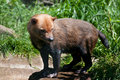Bush Dog Royalty Free Stock Photo