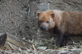 Bush dog near log a stands a Royalty Free Stock Photography