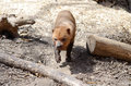 Bush dog a walks among some logs Royalty Free Stock Photos