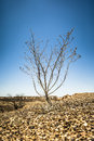 Bush in the dry stone desert Royalty Free Stock Photography