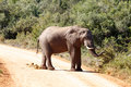 Bush Elephant standing on the dusty road Royalty Free Stock Photo