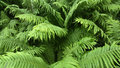 Bush of fern close up outdoors photography forest dryopteridaceae Royalty Free Stock Photography