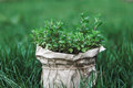 Bush of fragrant mint in pot on the green grass