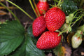 Bush of fresh red organic strawberry Royalty Free Stock Photo