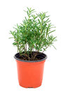 Bush of fresh rosemary in plant pot, isolated on white Royalty Free Stock Photo