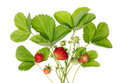 Bush of garden strawberries Stock Images