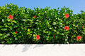 Bush green hedge with red hibiscus. Royalty Free Stock Photo