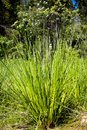 A bush of large grass on the edge of the forest. Royalty Free Stock Photo