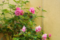 A bush of light pink roses flowering near the yellow wall Royalty Free Stock Photo
