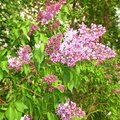 Bush of a lilac Royalty Free Stock Photo