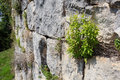 Bush on old grey stone bricks wall of ancient castle Royalty Free Stock Photo