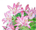 Bush of pink lilies watercolor illustration Stock Photos