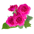 Bush of pink roses Royalty Free Stock Photo