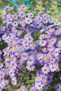 Bush with purple daisies Stock Photography