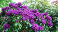 A bush with purple rhododendron flowers.
