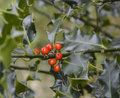 Bush with red berries and green spiky leaves holly Stock Image