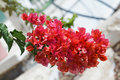 Bush with red flowers in israel Stock Photo