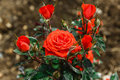 Bush of red roses beautiful outdoors Royalty Free Stock Photo