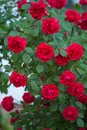 Bush with red roses in the garden Royalty Free Stock Photo
