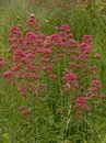 Bush of red valerian flowers in a wild naturalist garden - Centranthus ruber Royalty Free Stock Photo