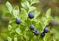 Bush of a ripe bilberry Royalty Free Stock Photo