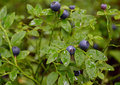 bush of ripe bilberry Royalty Free Stock Photo