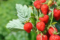 Bush of ripe red strawberry