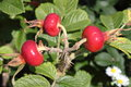 Bush of ripening rosehips plump red Stock Photography