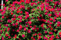 Bush of roses on bright Royalty Free Stock Photo