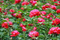 Bush of roses Royalty Free Stock Photo