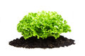 Bush of salad on soil humus bed isolated green Royalty Free Stock Image