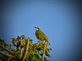 Bush shrike a sitting on the top of a coral tree in the early morning Stock Photo