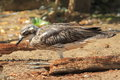 Bush stone-curlew Stock Images
