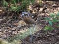 Bush stone curlew bird an australian the camouflaged amongst the leaf litter in its open woodland habitat Stock Photo