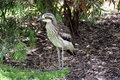 Bush Stone Curlew Grallerius Burhinus species Royalty Free Stock Photo