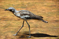 Bush Stone Curlew  Grallerius Burhinus species Royalty Free Stock Photography