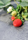Bush of strawberry Royalty Free Stock Photography