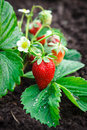 Bush of strawberry in garden Stock Images