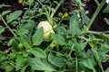 Bush With Tomatoes In The Greenhouse Horticulture And Crop
