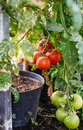A Bush Of Tomatoes With Fruits