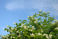Bush with white flowers at the sky background Royalty Free Stock Images