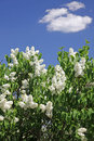 Bush of white lilac Royalty Free Stock Photo