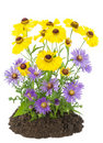 Bush of yellow and violet autumn flowers Stock Image