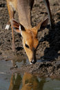 Bushbuck antelope Royalty Free Stock Photo