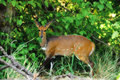 Bushbuck (Tragelaphus scriptus) Royalty Free Stock Photos