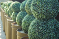 Bushes beautiful round at a back yard Royalty Free Stock Images