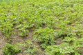 Bushes of potato are in the field Royalty Free Stock Photo