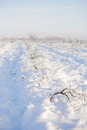 Bushes of vinery in snow in sunny day Royalty Free Stock Images
