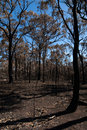 After the bushfire this scene comprising parched earth and burnt trees was captured following recent bushfires in new south wales Stock Image