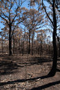 After the bushfire this scene comprising parched earth and burnt trees was captured following recent bushfires in new south wales Royalty Free Stock Photo